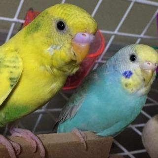 セキセイインコ1歳二匹、青と黄色(取引中)