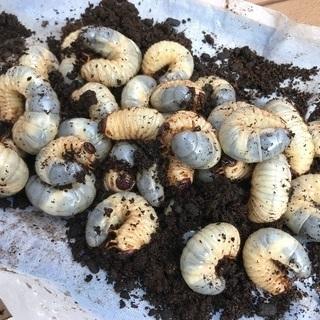 日本カブトムシの幼虫☆女性限定でm(_ _)m