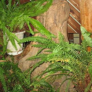 根っこのオブジェ 大木です