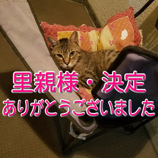 物わかりが良く甘えん坊の雄のトラ猫・推定1才です。