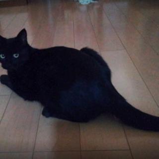 賢くて度胸のある黒猫オス1歳くらい・去勢済・ウイルス検査陰性