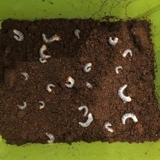 クワガタの幼虫 1令〜2令 1匹50円