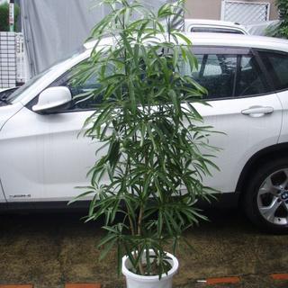 細葉 カポック シェフレラ アンガスティフォリア 10号 観葉植物