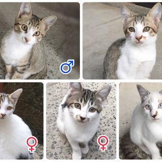 カギしっぽの5兄弟子猫♪ 里親募集!!生後3ヵ月