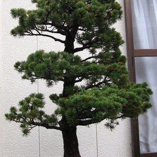 大きな五葉松・盆栽 4