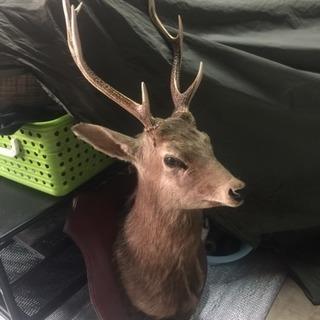 鹿の剥製 剥製 インテリア