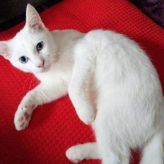 真っ白の雄猫です。