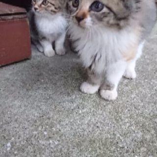 子猫ちゃんの里親さん探しています