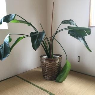 【大型】観葉植物 ストレリチアオーガスタ