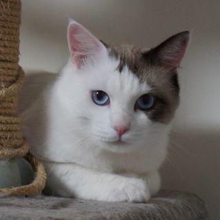 推定2歳 オス 綺麗なブルーアイ 臆病ですが、優しくて穏やかな性格です。