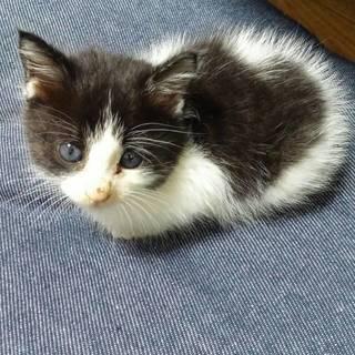 生後2か月の赤ちゃん猫です。里親募集中。