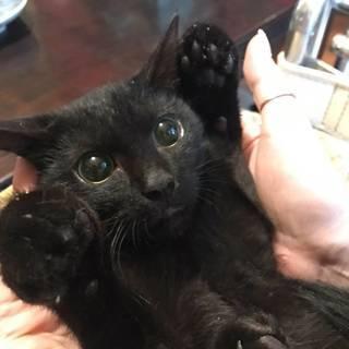 とても愛らしい黒猫♂4か月 もらってください