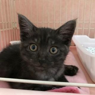 黒キジ♀2ヶ月