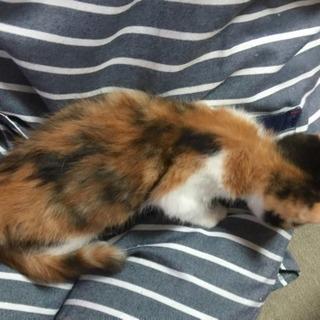 三毛猫 メス ① 里親様決まりました − 富山県