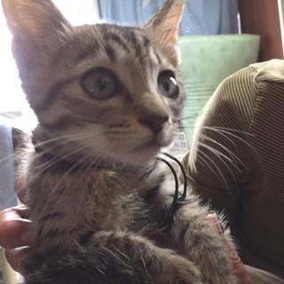 里親になってくださる方! 生後2~3ヵ月 オス 子猫 キジトラ猫
