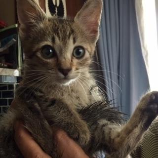 里親になってくださる方! 生後2~3ヵ月 オス 子猫 キジトラ模様