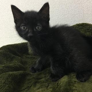 黒猫 女の子 生後約3週間(現在トライアル中)