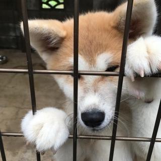 健康な秋田犬、3ヶ月の女の子です。