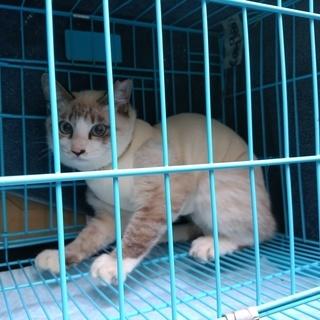 地域猫活動で避妊手術を受けたシャム系美猫さん、外ではなく、おうち猫...