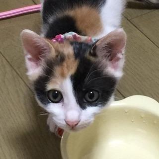 2ヶ月くらいの三毛猫です