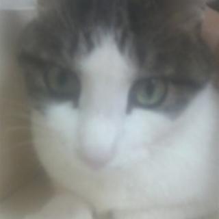 【代理投稿】★猫オス 1~2才丸顔キジ白