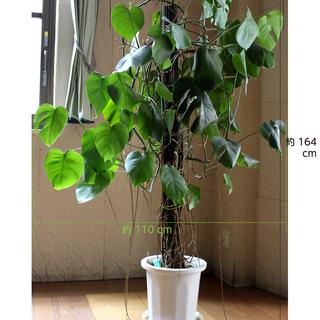 観葉植物「モンステラ」、売ります!