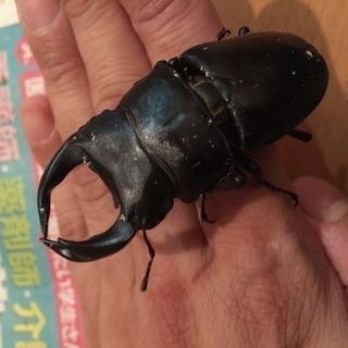 ☆★ホペイオオクワガタ&本土ヒラタペア★☆