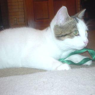 白い子猫(12ヶ月弱) かわいがって下さる方 里親さん募集
