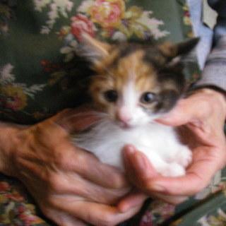 生後1.5ヶ月の可愛い三毛猫です。