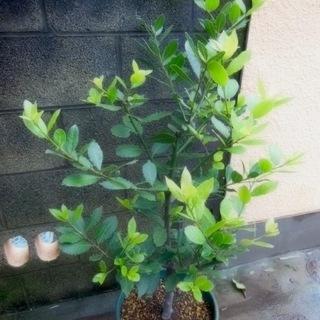 月桂樹 / ローリエの大苗 (2)