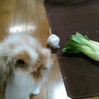 アメリカンファジーロップイヤーです。1歳半のうさぎです。元気で犬...