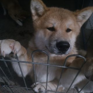 秋田犬の子犬里親募集