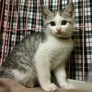 2ヶ月の子猫たちの里親さん探しています - 上尾市
