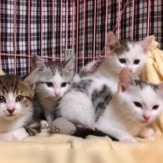 2ヶ月の子猫たちの里親さん探しています - 里親募集