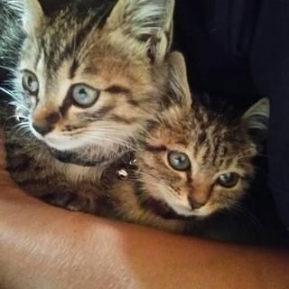 子猫もらって下さい(2匹います。どちらかだけでも可能です)