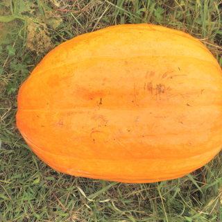 ハロウィン用ジャンボかぼちゃお譲りいたします。