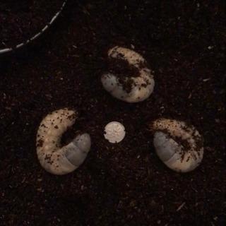 カブトムシの幼虫20匹