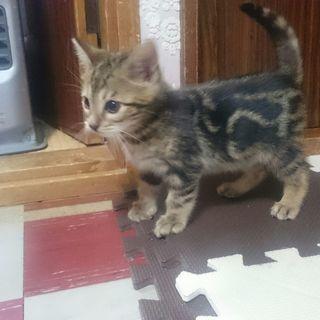 ベンガル猫 雄 2か月