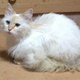 おりこうで大人しい3歳くらいの♀白猫