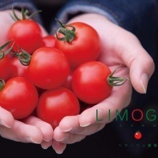 【由布市挾間町】ミニトマト収穫 誰でもできる軽作業 午前中の空い...