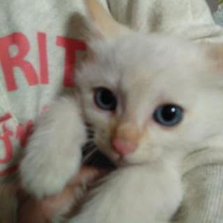 青い綺麗な目の仔猫