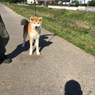 健康な秋田犬、6ヶ月の男の子です。