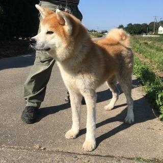 健康な秋田犬、8ヶ月の男の子です。