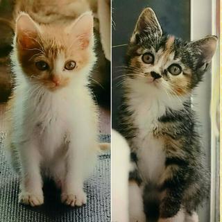 生後1ヶ月のトラ白と三毛猫の兄妹