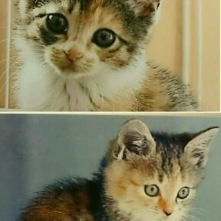 生後1ヶ月の三毛猫の姉妹