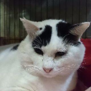 11月3日4日5日❤️猫の譲渡会獣医大学学園祭に出します。5才くら...