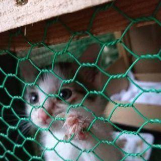 緊急募集‼️母親からいじめられる仔猫‼️