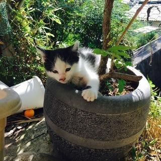 生後2ヶ月 白黒子猫 里親募集