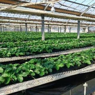 苺農園(高設ベンチ)でのイチゴの収穫・選果・苗の管理等、農作業全般
