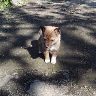 シェットランドシープドッグ芝犬のミックス犬